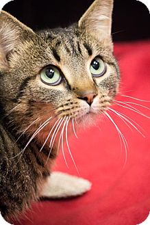 Domestic Shorthair Cat for adoption in Chicago, Illinois - Boo Radley