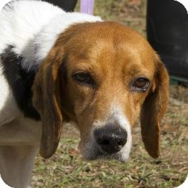 Beagle Mix Dog for adoption in Gainesville, Florida - Kirby