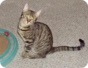 Domestic Shorthair Cat for adoption in Raritan, New Jersey - Mitts