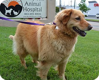 Golden Retriever Mix Dog for adoption in Knoxvillle, Tennessee - Zadie