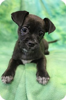 Pug/Dachshund Mix Puppy for adoption in Hagerstown, Maryland - Finchley