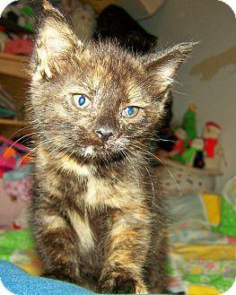 Domestic Shorthair Kitten for adoption in Avon, New York - Pixie