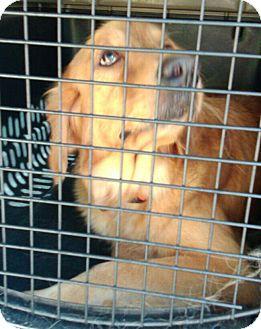 Golden Retriever Dog for adoption in Pennigton, New Jersey - Tila