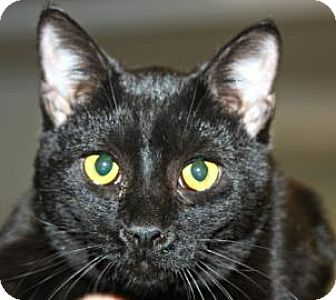 Domestic Shorthair Cat for adoption in Mt. Pleasant, Michigan - Henry