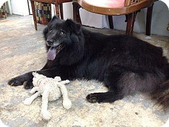 Border Collie/Chow Chow Mix Dog for adoption in Ocean Ridge, Florida - Alvin