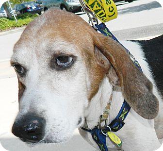 Hound (Unknown Type) Mix Dog for adoption in Umatilla, Florida - Annie Hall