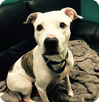 Pit Bull Terrier/Terrier (Unknown Type, Medium) Mix Dog for adoption in Nanuet, New York - Ceeto