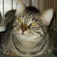Domestic Shorthair Cat for adoption in Jackson, Mississippi - Niko