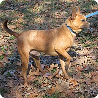 Adopt A Pet :: Buster Brown - Braintree, MA