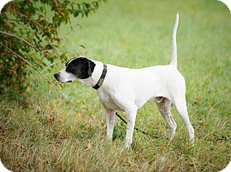 English Pointer Dog for adoption in Wood Dale, Illinois - Nash