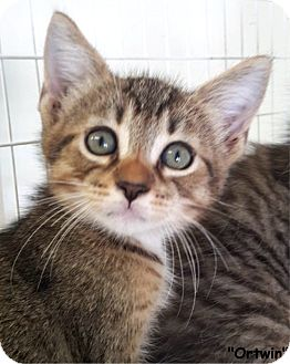 Domestic Shorthair Kitten for adoption in Key Largo, Florida - Ortwin