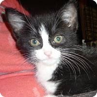 Adopt A Pet :: Koala Needy Kitten - Dallas, TX