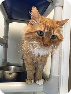 Domestic Longhair Cat for adoption in Cashiers, North Carolina - Larkin