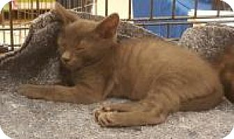 Domestic Shorthair Kitten for adoption in Tracy, California - Kolton-ADOPTED!