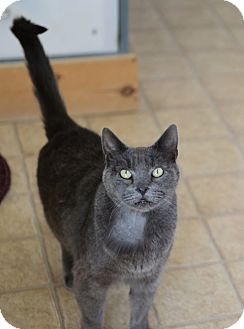 Russian Blue Cat for adoption in Gardnerville, Nevada - ASH