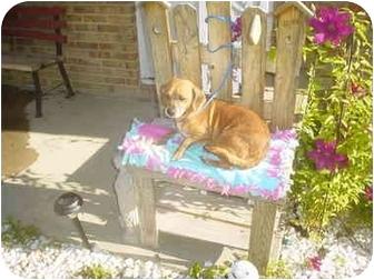 Dachshund Mix Dog for adoption in Eaton, Indiana - sissy