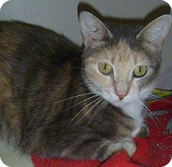 Domestic Shorthair Cat for adoption in Hamburg, New York - Petunia