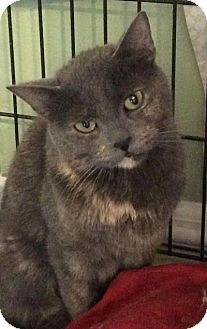 Domestic Shorthair Cat for adoption in Breinigsville, Pennsylvania - Stormy