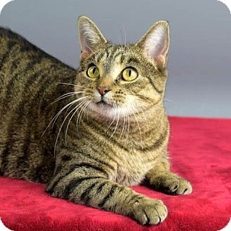 Domestic Shorthair Cat for adoption in Columbia, Illinois - Liberty