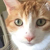 Domestic Shorthair Cat for adoption in Montreal, Quebec - Cassidy