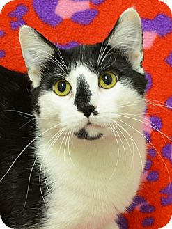 Domestic Shorthair Cat for adoption in Springfield, Illinois - Titan