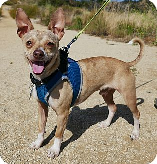 Chihuahua/Italian Greyhound Mix Dog for adoption in Los Angeles, California - Wallie
