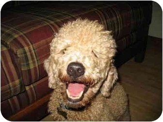 Poodle (Miniature) Dog for adoption in Melbourne, Florida - OPIE