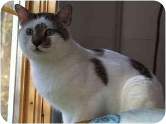 Domestic Shorthair Cat for adoption in Aldie, Virginia - Patrick