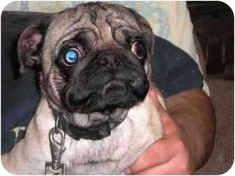 Pug Dog for adoption in Ortonville, Michigan - Johnny