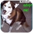 Photo 1 - Siberian Husky Dog for adoption in Dallas & Fort Worth, Texas - Amber