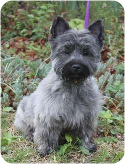 Cairn Terrier Puppy for adoption in Wichita, Kansas - Kirby