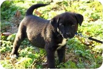 Irish Wolfhound/Border Collie Mix Puppy for adoption in Staunton, Virginia - Dillion