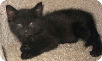 Russian Blue Kitten for adoption in Dallas, Texas - Chornaya