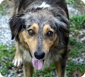 Australian Shepherd Mix Puppy for adoption in Spring Valley, New York - Monet
