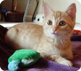 Domestic Shorthair Kitten for adoption in Hendersonville, Tennessee - Thomas