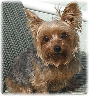 Yorkie, Yorkshire Terrier Dog for adoption in Palm City, Florida - Tinker Bell