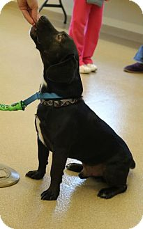 Dachshund/Labrador Retriever Mix Dog for adoption in Hastings, New York - Marty