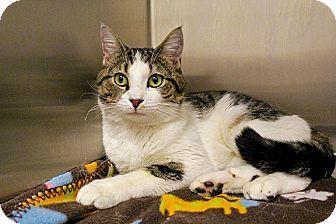 Hemingway/Polydactyl Cat for adoption in Worcester, Massachusetts - Dubs