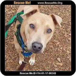 Labrador Retriever Mix Dog for adoption in Lebanon, Maine - Teddy