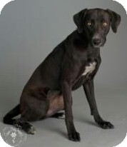 German Shorthaired Pointer Dog for adoption in Phoenix, Arizona - Sparrow