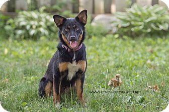 Australian Shepherd/Border Collie Mix Puppy for adoption in Drumbo, Ontario - Ellie