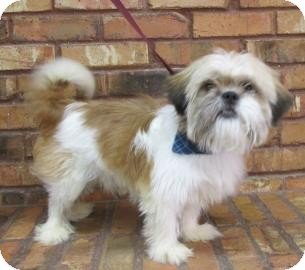 Shih Tzu Dog for adoption in Benbrook, Texas - Sully