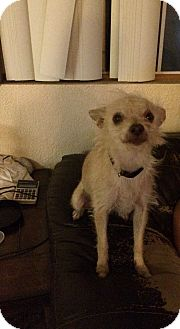 Terrier (Unknown Type, Small) Mix Dog for adoption in Los Angeles, California - Dixie