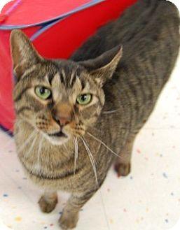 Domestic Shorthair Cat for adoption in Hillside, Illinois - Monty
