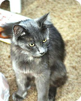 Domestic Mediumhair Cat for adoption in HILLSBORO, Oregon - Sophia - LOVES Children!