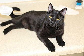 American Shorthair Cat for adoption in Waynesville, North Carolina - Betty