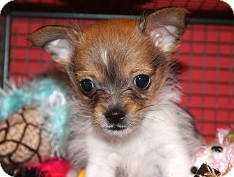 Chihuahua/Terrier (Unknown Type, Small) Mix Puppy for adoption in Los Angeles, California - Neutron - 1.3 pounds