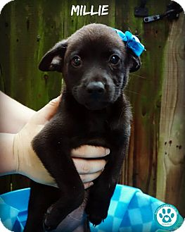 Labrador Retriever Mix Puppy for adoption in Kimberton, Pennsylvania - Millie