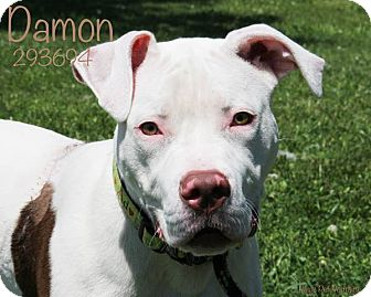 American Staffordshire Terrier/Terrier (Unknown Type, Medium) Mix Puppy for adoption in Troy, Michigan - Damon