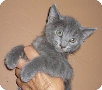 Bengal Kitten for adoption in Dallas, Texas - Baklava